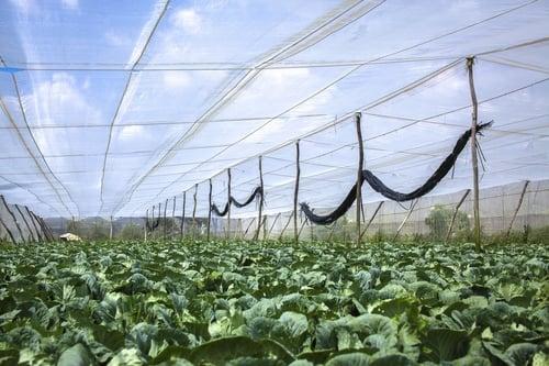 lưới uv làm nhà rau