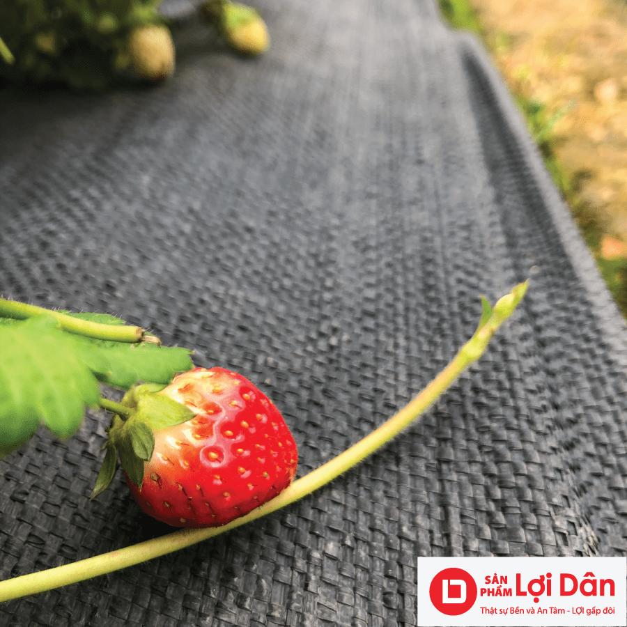 Bạt trải diệt cỏ được sử dụng trong vườn dâu.