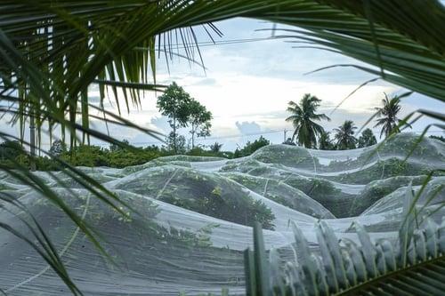Lưới UV trùm vườn mận tại Cần Thơ