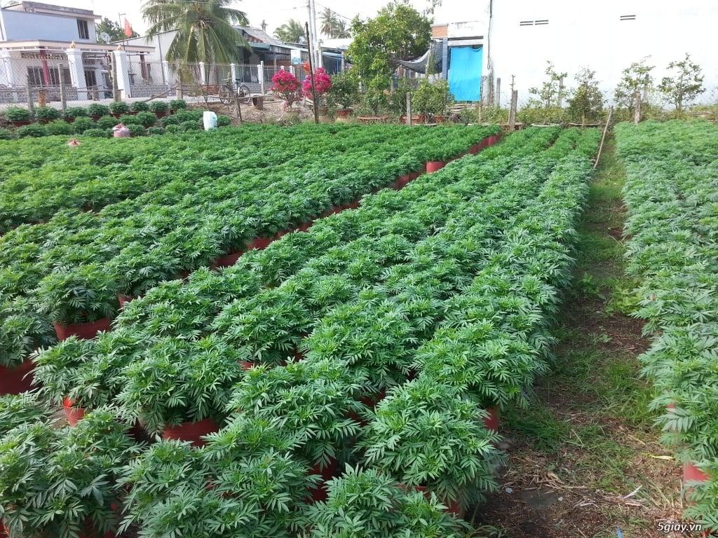 Vườn vạn thọ trồng trong chậu đỏ