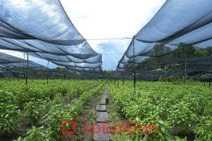 Sản phẩm lưới đen che nắng dùng nhiều trong việc ươm giống cây trồng.