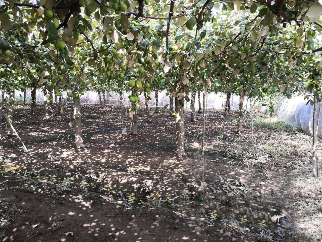 vườn táo phủ lưới ở Ninh Thuận