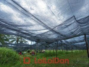 Sản phẩm Lưới đen che nắng thường được dùng để che nắng vườn cây giống