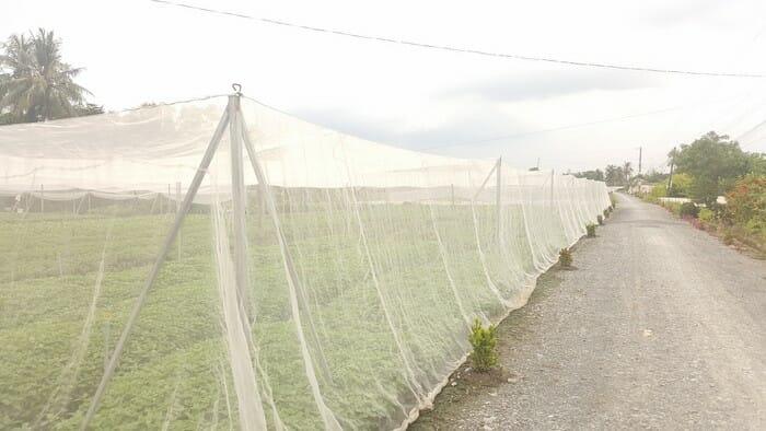 Giăng mùng bằng lưới trồng rau ngăn côn trùng phá hoại - Lợi Dân