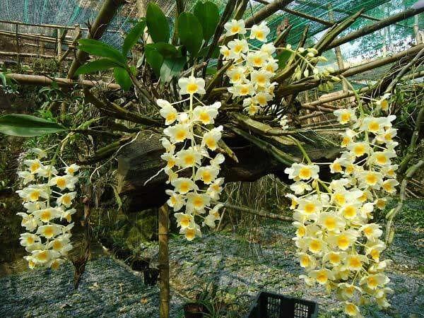 Hoa Lan rừng ưa sống trong môi trường ẩm, tự nhiên - Lợi Dân