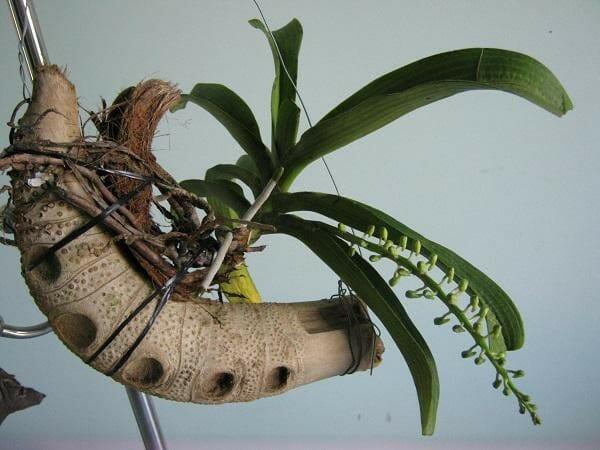 Lan rừng nên được trồng trong giá thể như gỗ, dớn, xơ dừa - Lợi Dân