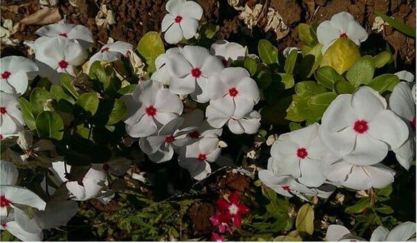 hoa dừa cạn - Lợi Dân