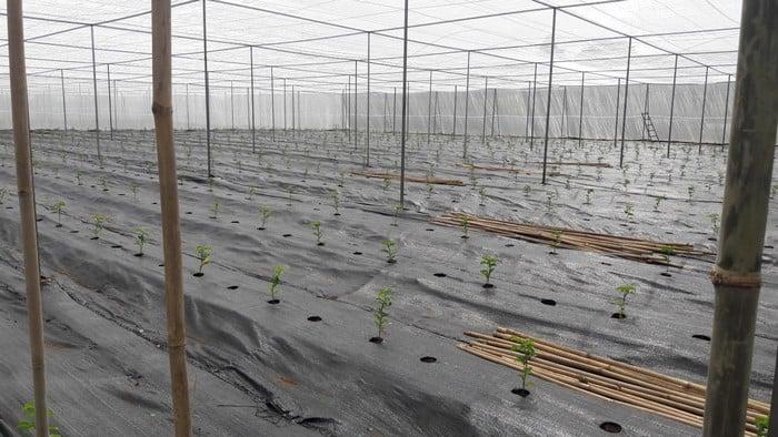 Ứng dụng sử dụng bạt trải trong trồng chanh dây ở Tây Nguyên - Lợi Dân