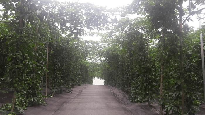 Sử dụng bạt trải diệt cỏ trồng chanh dây