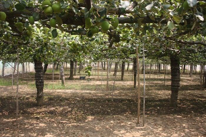 trồng táo trong nhà lưới cho chất lượng quả đồng đều hơn, ít bị sâu hại
