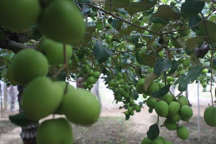 trồng táo trong nhà lưới giúp đạt năng suất cao hơn