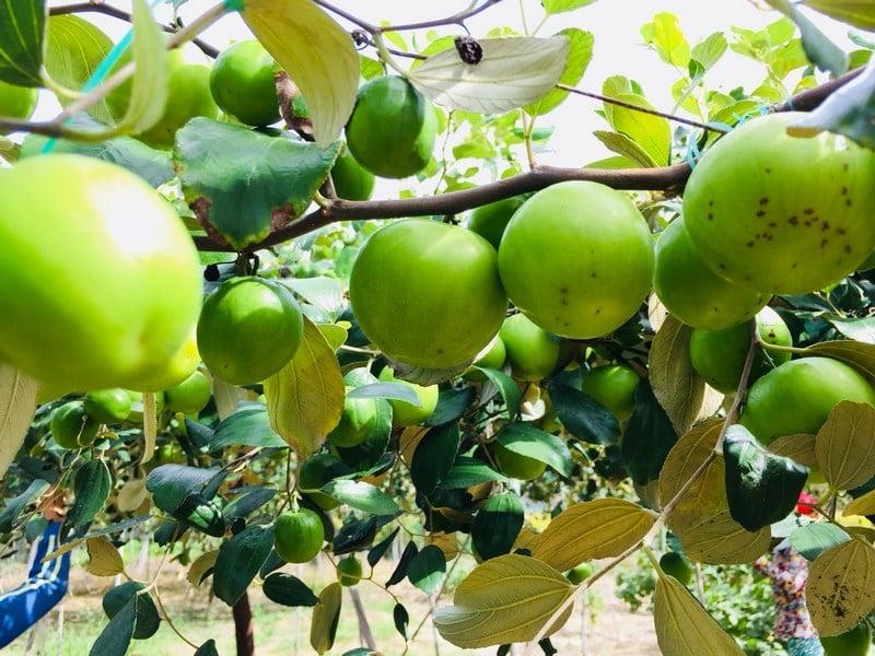 Phương pháp canh tác cũ khiến cho chất lượng quả táo không đồng đều