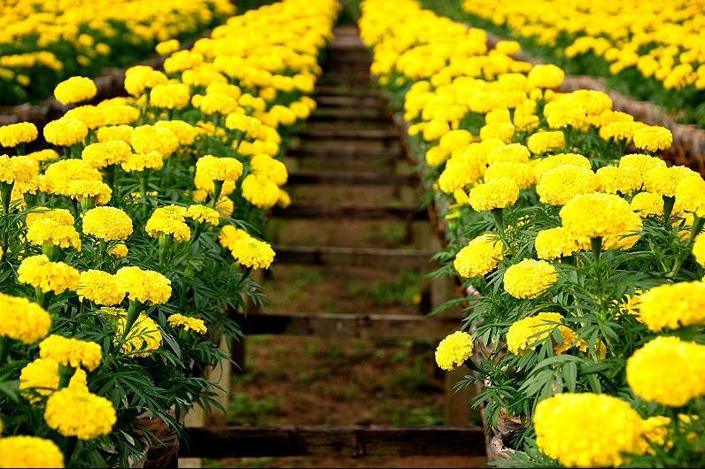 Hoa cúc vạn thọ đẹp chưng tết - Lợi Dân