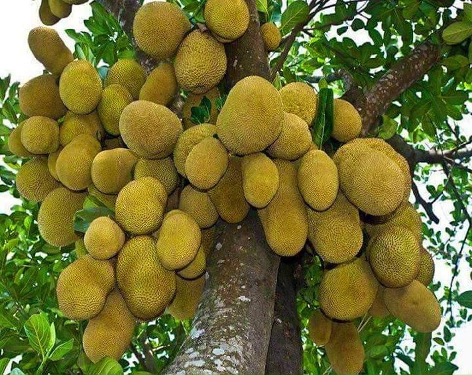 Cây mít trĩu quả - Lợi Dân