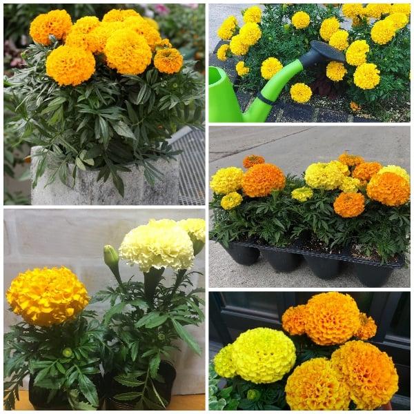Hoa cúc vạn thọ đẹp chưng cho ngày tết - Lợi Dân