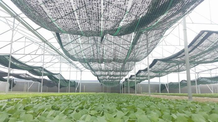 dùng lưới che nắng để cứu cây trồng mùa hạn