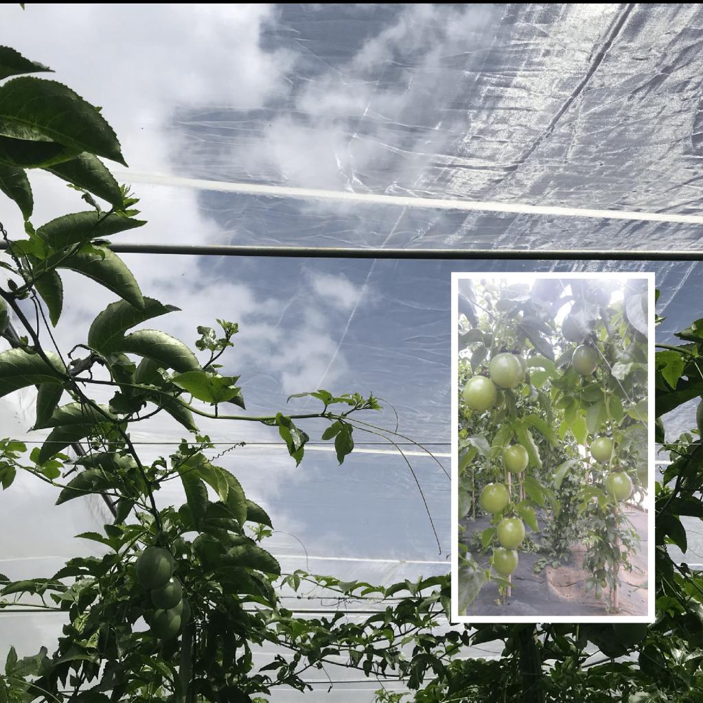 chanh dây được trồng trông lưới chắn côn trùng và quả cho năng suất cao không hư hại