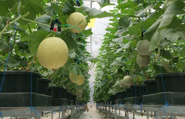 dưa lưới trồng trong chậu nhựa đơn giản nhưng hiệu quả
