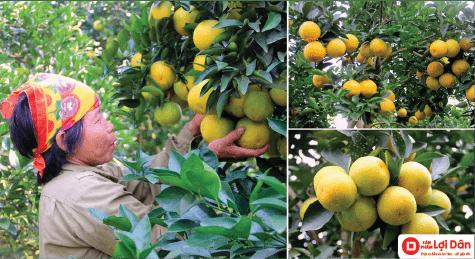 Sử dụng lưới chống côn trùng cho cam giúp cam đạt năng suất cao.