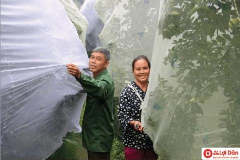Bà con đang sử dụng lưới chống côn trùng để bảo vệ cho cam.