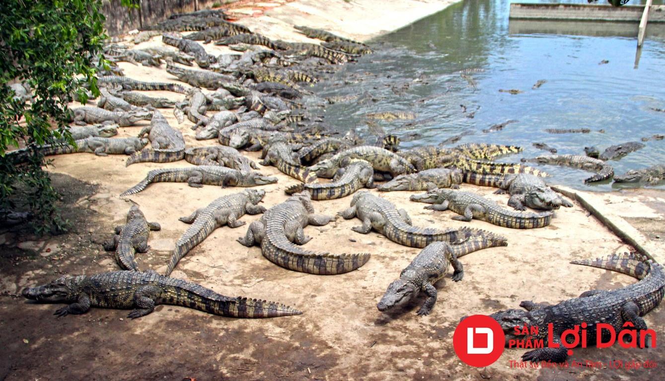 Nuôi cá sấu trong ao đất phải đúng tiêu chuẩn