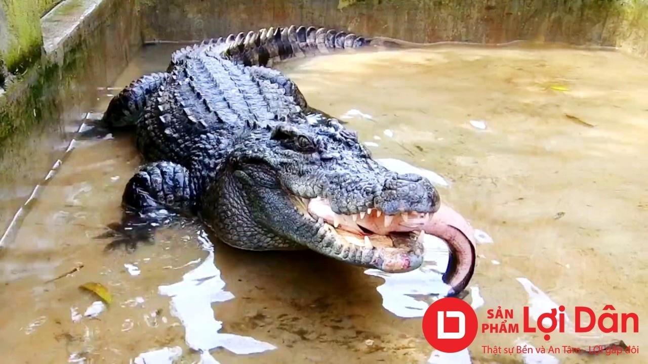 Mô hình nuôi cá sấu đem lại lợi nhuận cao