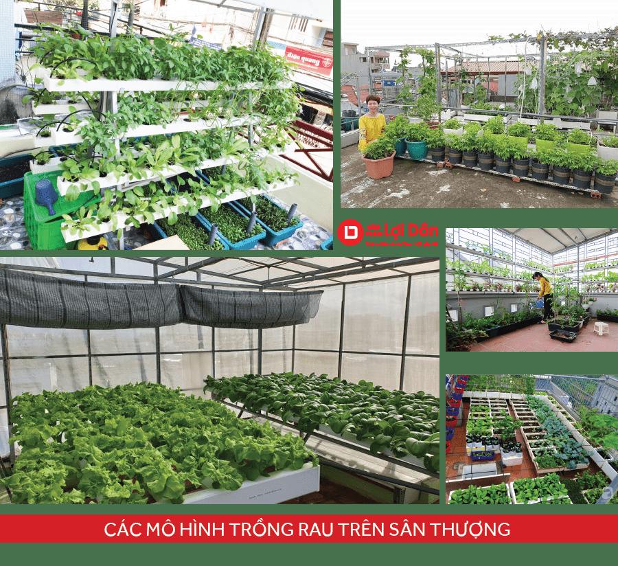 Các mô hình trồng rau sạch trên sân thượng.