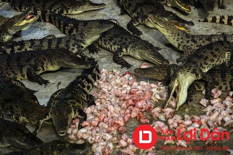 Thức ăn cho cá sấu phải được chặt nhỏ để cá dễ tiêu thụ