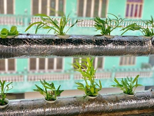Trồng rau muống thủy canh trên sân thượng.