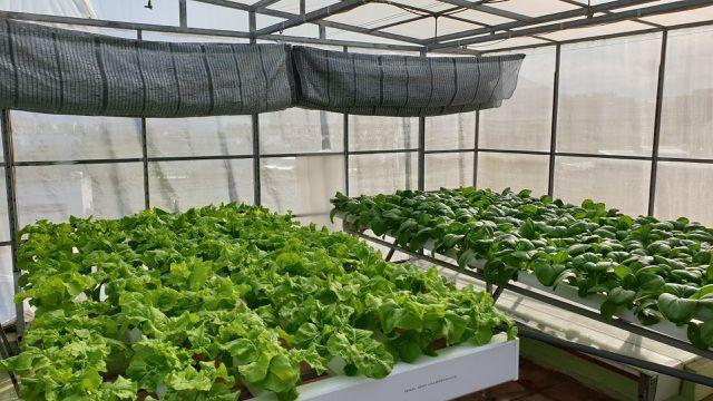 Vườn rau sạch trên sân thượng.
