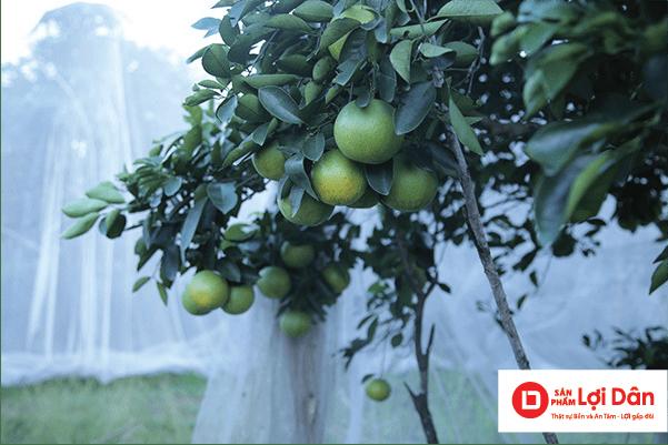 Cam đẹp, chín đều, cho năng suất cao khi dùng lưới chống côn trùng bảo vệ cho cam.