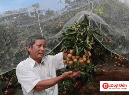 lưới chống côn trùng cũng có thể áp dụng cho vườn nhãn, vì nhãn cũng là đối tượng tấn công yêu thích của Bướm đêm