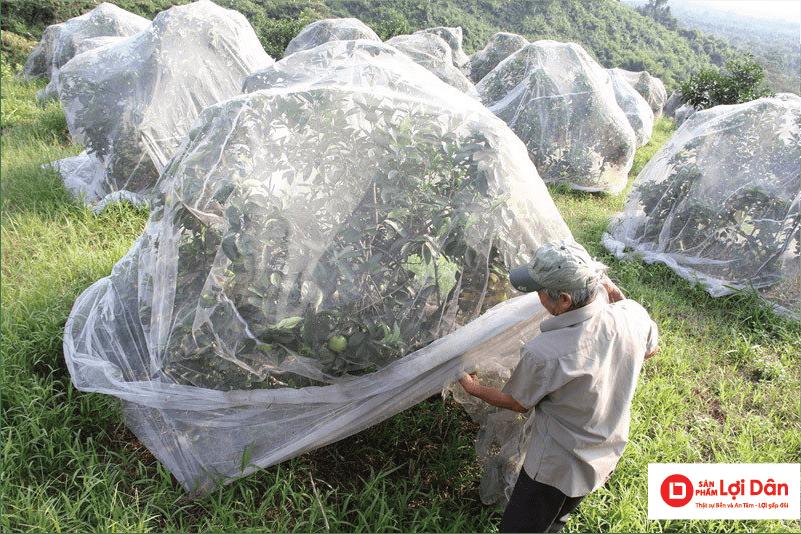 Bà con đang chuyển đổi từ phương pháp sử dụng thuốc diệt côn trùng sang dùng màng lưới trùm vườn cam.