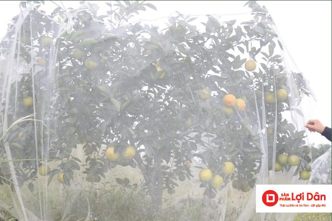 Lưới trùm cam bảo vệ cam khỏi sự chích phá của ruồi vàng và bướm đêm.