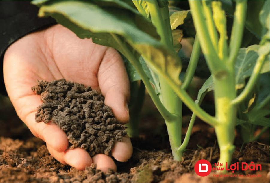 Bón phân đầy đủ cho hoa cúc phát triển mạnh và sinh tưởng tốt.