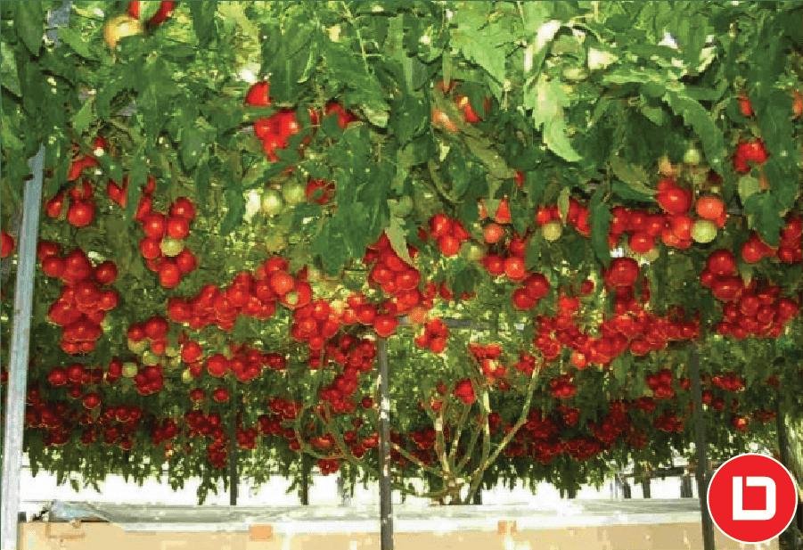 Cây cà chua leo.
