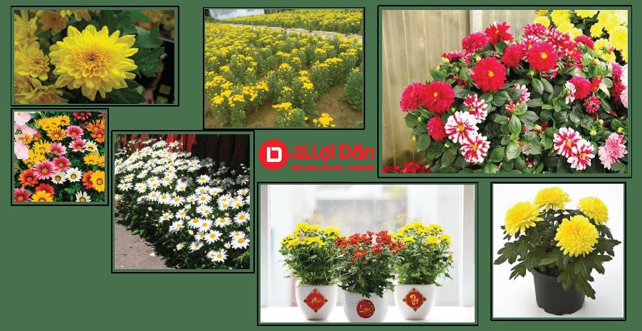 Cách trồng hoa cúc - giống các loại hoa cúc rất đa dạng và phong phú.