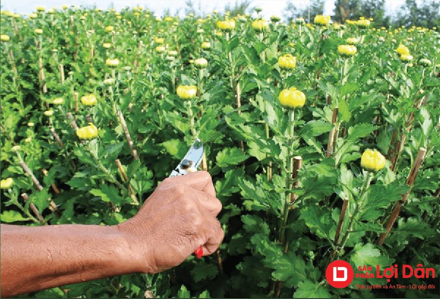 Tỉa cành cho hoa cúc để tập trung chất dinh dưỡng nuôi bông.