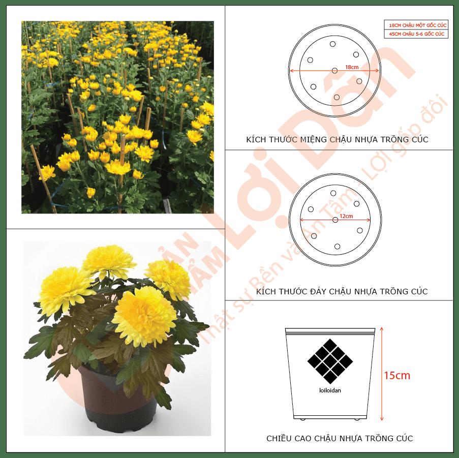 Cách trồng hoa cúc - chọn chậu cho cây.