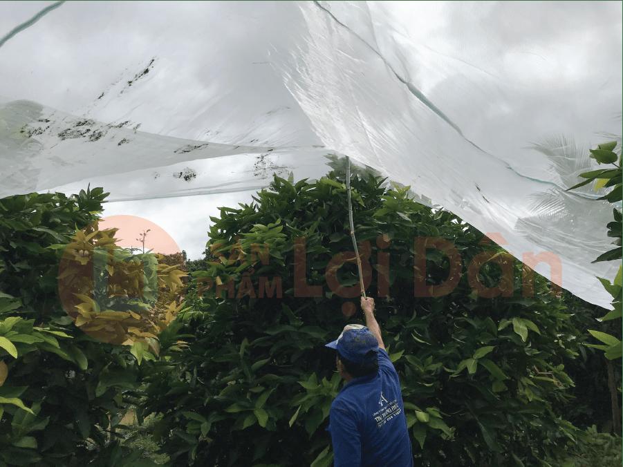 Đang kéo lưới để trùm lên vườn mận.