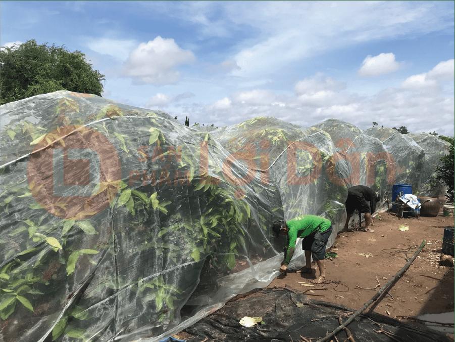 Vườn mận được trùm lưới mới hoàn toàn.