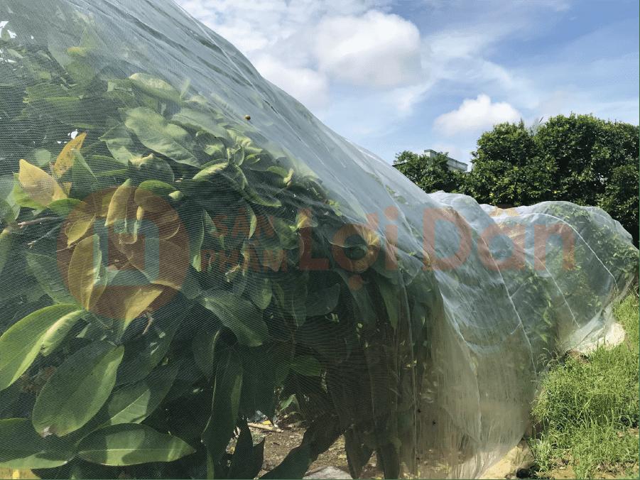 Sử dụng lưới bao vườn mận để ngăn chặn sự tấn công của côn trùng.