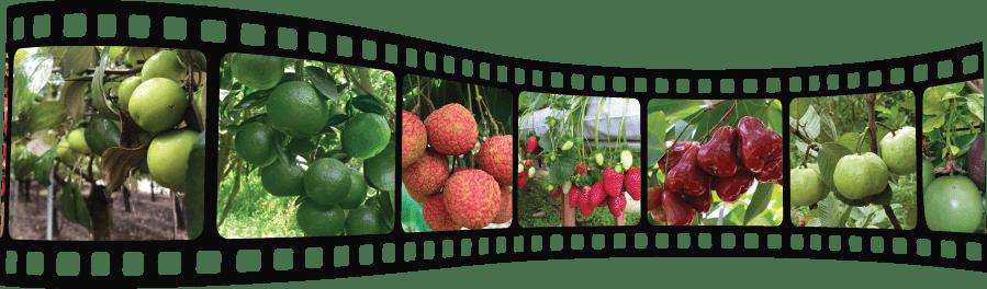 Những cây trồng ăn trái cho hiệu quả kinh tế cao.