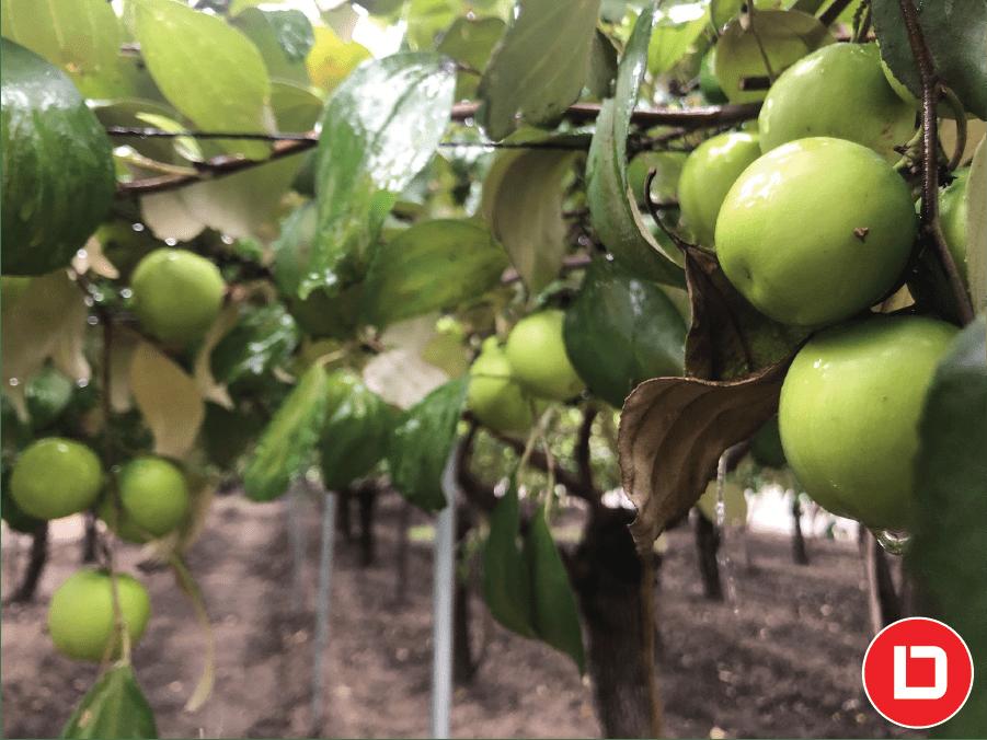 Mô hình trồng cây ăn trái kinh tế với cây chủ lực là táo xanh.