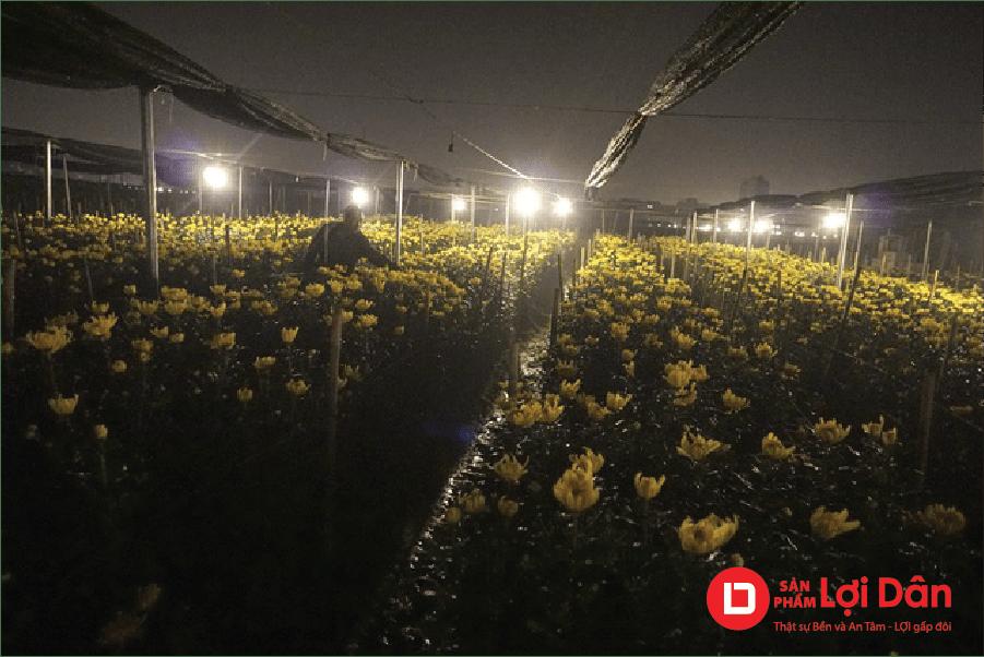 Thắp đèn để kích thích hoa nở khi trời lạnh.