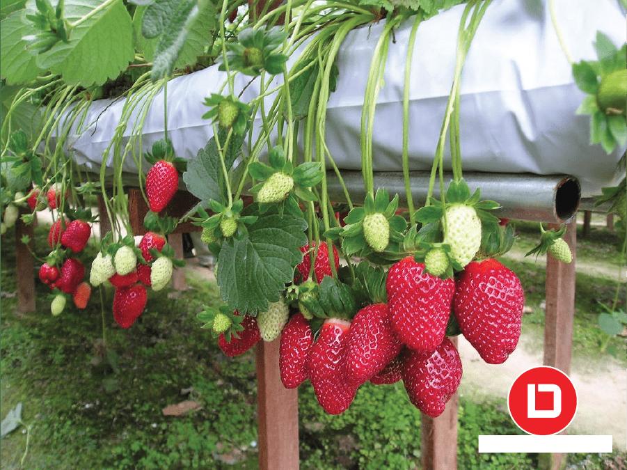 Mô hình trồng cây ăn trái kinh tế cao với cây dâu tây nhật bản.
