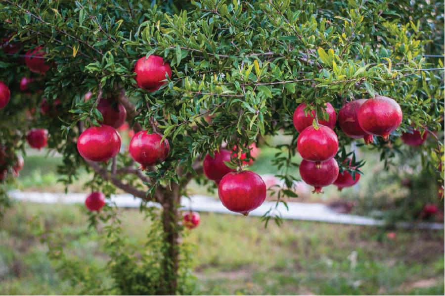 Trồng cây lựu lùn đỏ Ai Cập nâng cao hiệu qủa kinh tế.