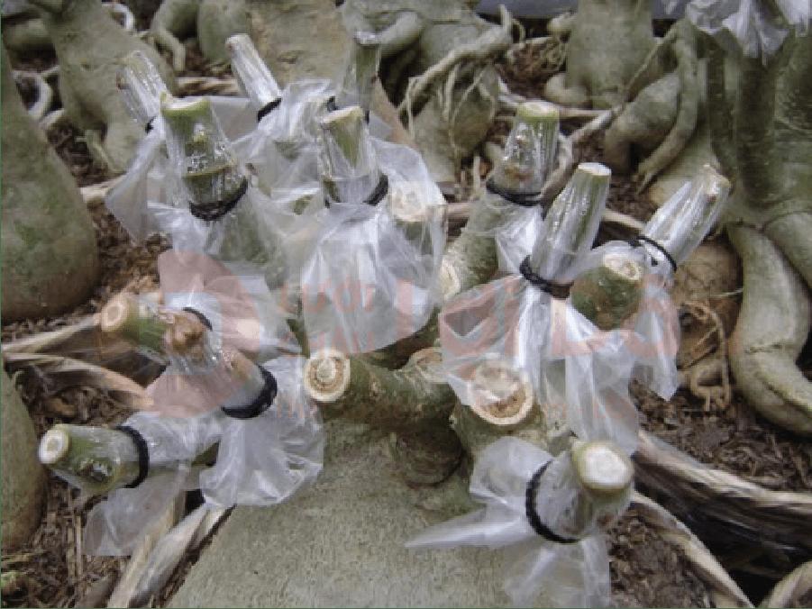 Phương pháp trồng hoa sứ bằng cách giâm cành.