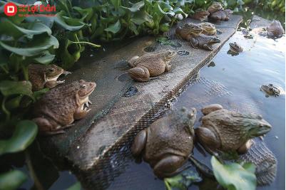 Phòng và trị bệnh giun sán có trên ếch.