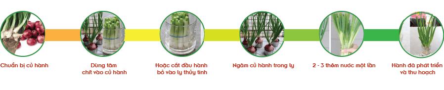Các bước trồng hành lá thủy canh.